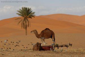 am Erg Chebbi, der größten Sanddüne in Marokko