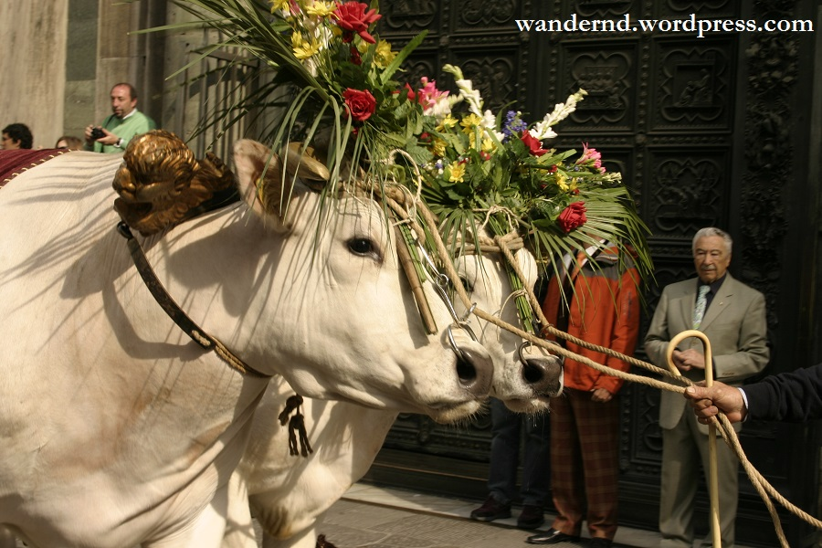 Die Weißen Ochsen des Scoppio del Carro - Ostern in Florenz