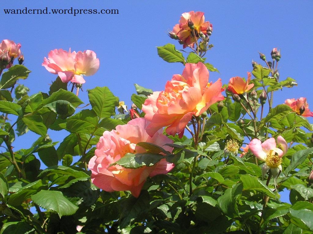 Im Mai blühen im Volksgarten wieder die Rosen