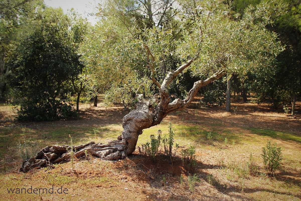Rundreise durch Apulien: In einem Olivenhain